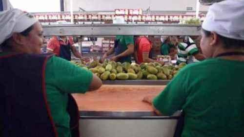 Cómo ganar dinero exportando mango