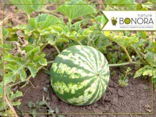 Inicio de una plantilla de plan de negocios de muestra de Watermelon Farm